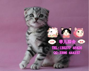 广州哪里出售健康可爱活泼美短和英短蓝猫 折耳立耳