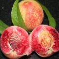 红血桃树苗,一年生红血桃树苗,红血桃树苗价格