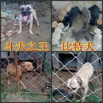 山东财意比特犬专业养殖场有血统种犬,血统幼犬