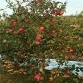 蜜脆蘋果樹苗、蜜脆蘋果樹苗出售
