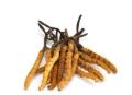 高新專業回收蟲草-冬蟲夏草回收市場參考價