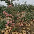 蛇果蘋果樹苗哪里便宜、蛇果蘋果樹苗價格是多少