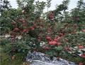 1公分紅色之愛蘋果苗一畝地效益
