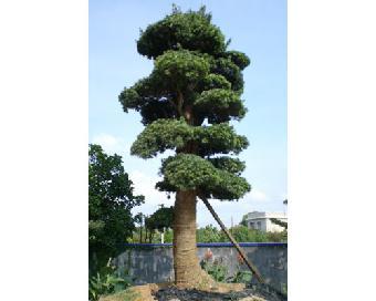 盆景 盆栽 树 松 松树 植物 340_272