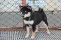 北京市純種柴犬 日系柴犬 黑色柴犬幼崽出售