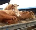 云南哪里有肉牛养殖基地,征远牧业专业肉牛养殖基地