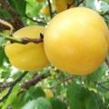香杏樹苗批發