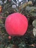 矮化華玉蘋果苗今年批發價格多少錢一棵