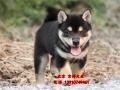 高品質黑色柴犬出售 柴犬圖片 日系柴犬價格