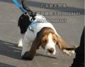 广州边度有卖拉布拉多犬 广州一只纯种拉布拉多犬价格