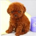 广州哪一个小区有卖狗 天河区哪里买茶杯泰迪熊犬