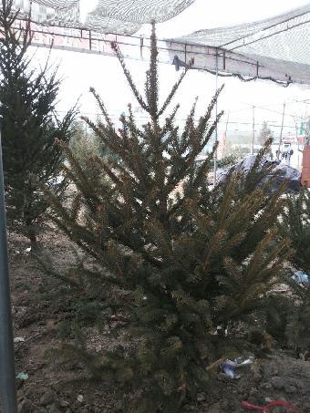 如果是一棵6英尺的圣诞树,大约需要6根灯光绳,每条100盏灯,每条灯线从