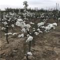 碭山酥梨樹苗基地、碭山酥梨樹苗價格及報價