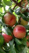 华油7号油桃介绍品种价位