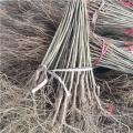中農紅石榴樹苗、中農紅石榴樹苗價位