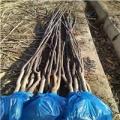 红皮核桃苗早熟品种好还是晚熟品种好—裕农农业