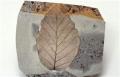 植物的化石的永恒傳說