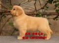 賽級金毛犬出售 純種楓葉系金毛價格 金毛犬舍