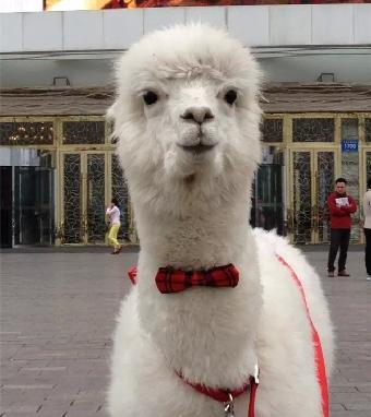 羊驼因外形可爱,声音有点似绵羊音及乖巧的个性,让许多人爱上它.