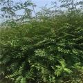 獅子頭花椒樹苗產量