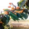 香蕉草莓苗批发价格香蕉草莓苗价格是多少