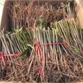 山东红香椿树苗多少钱.红香椿树苗多少钱包邮