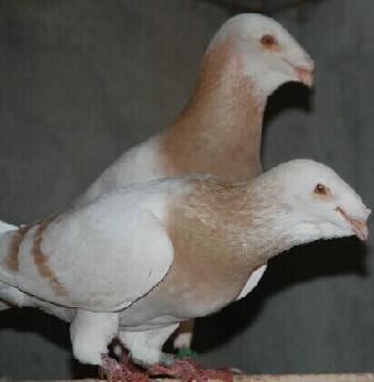 四川/关键字:蛇头鸽四川头型鸽四川观赏鸽...