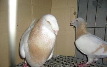 新疆/关键字:观赏鸽品种纯种元宝鸽头型鸽价格