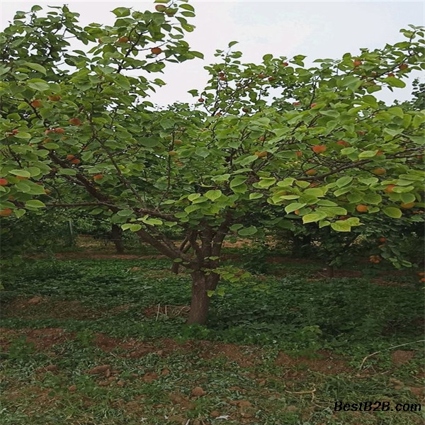 1公分杏树嫁接苗,杏树嫁接苗易成活