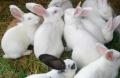 6只種兔的價錢