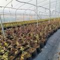 藍莓苗出售價位、自由藍莓苗