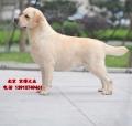 純種拉布拉多犬哪賣 拉布拉多幼犬價位