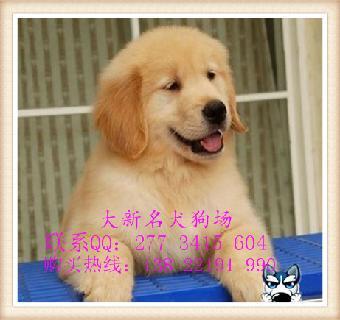 潮州/潮州大新名犬狗场潮州哪家狗场信誉最好 金毛犬图片