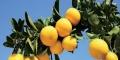 江門哪里有黃金柑苗出售
