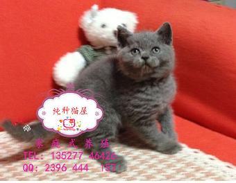 表情可爱超萌动作的英短蓝猫