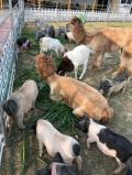 租赁羊驼价格哪里有萌宠动物展览最高赔率公司