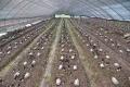羊肚菌溫室大棚種植的優點