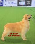 純種金毛幼犬出售 寬嘴大骨架金毛犬直銷
