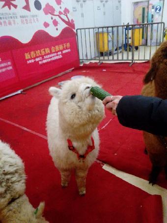 阜新动物出租 羊驼展览租赁公司宣传