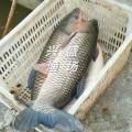 大同市出售淡水魚 出售草魚
