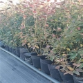 藍莓苗供應、自由藍莓苗