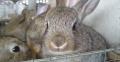 出售種兔免費食料