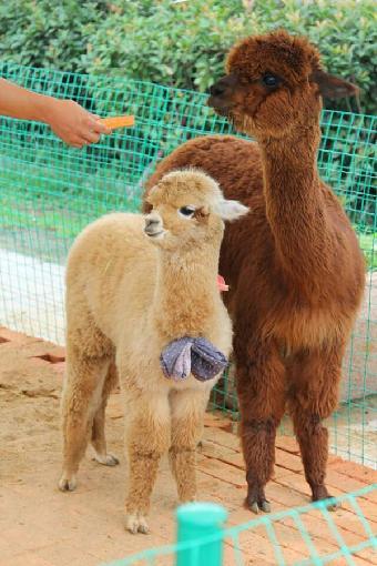 鄂州市出租动物,羊驼租赁