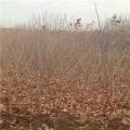 泰山红光板栗苗、泰山红光板栗苗出售