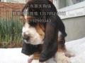 广州拉布拉多犬奶油色多少钱一只 新大狗场
