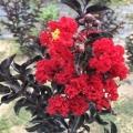 2米高美国黑钻紫薇苗新品种红叶红花紫薇树苗批发