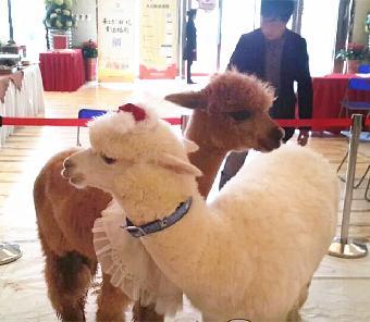 青岛出租羊驼 动物表演
