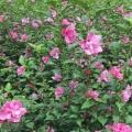 粉红色食用木槿小苗当年开花鲜花产量高木槿苗批发