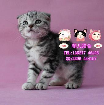 广州哪里有出售银色渐层立耳英短 纯种金吉拉幼猫可爱