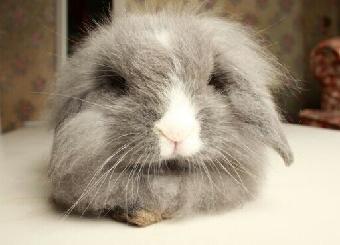 纯种迷你可爱活体宠物兔荷兰垂耳兔价格多少